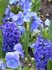 The Blues (Marit Buelens) Tags: frankreich france frankrijk alsace elzas turckheim park parc flowerbed flower bloem hyacinth pansy violet viool viooltje veilchen daffodil narcis blue bleu blauw green vert grün groen spring lente