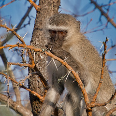 Africa Revisited - Vervet Monkey (KWPashuk (Thanks for >3M views)) Tags: nikon d7200 tamron tamron18400mm lightroom luminar luminar2018 luminar3 kwpashuk kevinpashuk veret monkey ape primate kapama reserve southafrica animal portrait wildlife nature