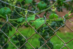 Nature and Fence (Jeffrey Balfus (thx for 4 Million views)) Tags: 90mmf28macrogossprimelensmacrosel90m28gfences sonya9mirrorless sonyilce9 sonyalpha fullframe saratoga california unitedstates us 90mm f28 macro g oss prime lens sel90m28g fencessony a9 mirrorless