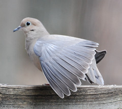 Fanning Out (John Neziol) Tags: jrneziolphotography portrait animal animalphotography bird birdphotography wildlife wings feathers brantford outdoor ornithology beautiful photography bright bokeh nikon naturallight nature mourningdove dove