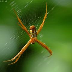 DSCF2801 (Patrick Mouret) Tags: fujixe3 fujinonxf80mmf28rlmoiswrmacro araignées spiders insectes insects
