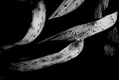Perlée.... (Nadine Poc) Tags: feuilles pluie