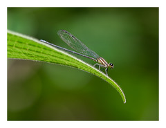 Damselfly (wwarby) Tags: centralamerica costarica abroad animal bordered damselfly favourites holiday holiday2018costarica insect leaf outdoors plant vacation wild wildlife
