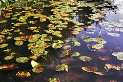 Water lilies (Theolde) Tags: leicamp film fuji provia400