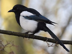 Magpie (doranstacey) Tags: nature wildlife birds magpie rspb oldmoor reserve tamron 150600mm nikon d5300