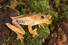 Boana geographica [Map Treefrog] (kkchome) Tags: herping herp herpetology amphibian amazon amazonas boana geographica map treefrog santa cruz loreto peru mazán nature wildlife fauna jungle rainforest