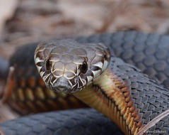 Highlands Copperhead (Austrelaps ramsayi). Southern Highlands, NSW (Jesse's Wildlife) Tags: nature slither venom scales snake fauna jessecampbell jesseswildlife elapid herping austrelapsramsayi highlandscopperhead