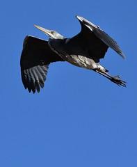 Heron_6552 (marsh and moor) Tags: nikon d850 wildlife nature bird heron stodmarsh nnr