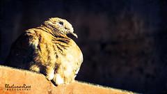 Dreaming Up... (BlueLunarRose) Tags: laughingdove dove bird feathers morning light glitter texture textures animal sonyalphadslra200 sal75300 bluelunarrose
