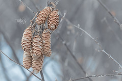 Rejuvenescence (Karl's Gal) Tags: pinecones winter rejuvenescence karlsgal seedheads seeds