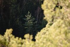 Light Pine (all martn) Tags: sachsenschweiz sächsischeschweiz elbsandsteingebirge landschaft landscape baum tree