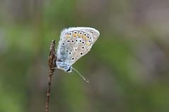 Licénido (esta_ahi) Tags: larboçar penedès barcelona spain españa испания mariposa papallona butterfly lepidoptera insectos fauna lycaenidae