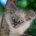 Ragdoll kitten Cookie