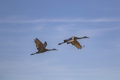 Sandhill Cranes (Mal.Durbin Photography) Tags: sandhillcranes maldurbin circlebbarreserve wildlifephotography nature photography wildbirds floridausa
