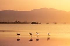 Flamingos at Sunrise in Thessaloniki, Greece (Alexandros Maragos) Tags: greece alexandrosmaragos flamingo thessaloniki axiosdelta φλαμίνγκο θεσσαλονίκη nature landscape αλέξανδροσμαραγκόσ δέλτααξιού ελλάδα