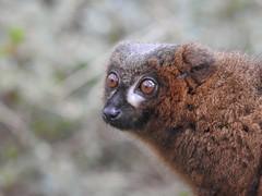 Red Bellied Lemur (Simply Sharon !) Tags: redbelliedlemur primate browneyes animal yorkshirewildlifepark