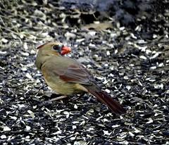 Watching Her Back (Portraying Life, LLC) Tags: cropapsc dbg6 hddfa150450 k1mkii michigan pentax ricoh unitedstates bird closecrop handheld nativelighting feeder sunflower feeding cardinal
