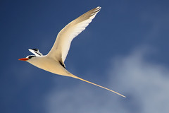 Bermuda Longtail (320-ROC) Tags: whitetailedtropicbird tropicbird phaethonlepturus longtail bermudalongtail bird birdsinflight bermuda