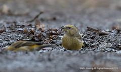 Crossbill from a busy FOD (snapp3r) Tags: crossbill parkend