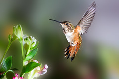 Young Happiness (Patricia Ware) Tags: allenshummingbird backyard birdsinflight california canon fullframe manhattanbeach multipleflash selasphorussasin tripod ©2018patriciawareallrightsreserved specanimal sunrays5