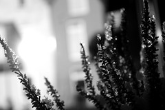 Frosty Erica (Von Noorden) Tags: blackwhite schwarzundweiss germany noiretblanc black white blackandwhite bw sw schwarzweiss schwarz weiss weis schwarzweis monochrome monotone streetphotography schatten dark grey einfarbig topv glas glass blacknwhite leaves erica heidekraut snow ice pearl pearls nature natur plant pflanze light twilight lights sunshine makro macro blätter bokeh spring winter schnee eis botanic flower flowers frost icy bloom summer reflection reflections crystal frosty
