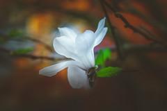 Magnolia (Dhina A) Tags: sony a7rii ilce7rm2 a7r2 a7r lensbaby velvet 56 56mm f16 macro lensbabyvelvet5656mmf16 bokeh portrait art lens 4elements 3groups blur manualfocus magnolia flower spring
