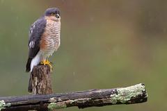 Epervier (kookaburra 81) Tags: oiseau tarn epervierdeurope accipiternisus accipitridés accipitriformes eurasiansparrowhawk bird