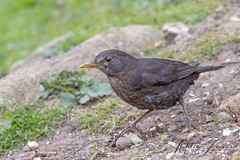 Common Blackbird (Female) (Turdus merula) (PhasmatosOculus) Tags: april 2019 april2019 bird birds rivernene barnwellcountrypark barnwellpark barnwell country park northamptonshire wildlifeanimal wildlife animal animals wildlifeanimals matthewfarrugia matthew farrugia centricmalteser canon6dmkii canon 6d mkii eos6dmkii canoneos6dmkii eos canoneos eastanglia 6dmkii phasmatosoculus commonblackbird turdusmerula common blackbird turdus merula