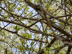 Branches Of A Dogwood Tree. (dccradio) Tags: lumberton nc northcarolina robesoncounty outdoor outdoors outside tree trees branch branches treebranch treebranches march spring springtime sunday morning sundaymorning goodmorning flower floral flowers flowering floweringtree dogwood dogwoodtree pretty beauty beautiful scenic bloom bloomingblossom blossoming sony cybershot dscw830 treelimb treelimbs