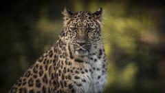 Spotted Tiger (Jonnyfez) Tags: freya siberian amur leopard yorkshire wildlife park jonnyfez d750 big cat spotted eyes eye contact look stare