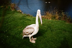 Pelican (iampaulrus) Tags: film filmphotography film35mm lomography lomo analog analogue analoganalogue35mm paulfargherphotography mjuii olympusmjuii curraghswildlifepark ballaughcurraghswildlifepark wildlife pelican