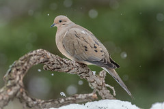 awaiting Spring (jimmy_racoon) Tags: canon 400mm f56l 5d mk2 mourning dove birds snow winter canon400mmf56l canon5dmk2 mourningdove
