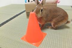 Ichigo san 1497 (Errai 21) Tags: いちごさん ichigo san  ichigo rabbit bunny cute netherlanddwarf pet ウサギ うさぎ いちご ネザーランドドワーフ ペット 小動物 1497