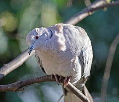 Collared dove Streptopelia decaocto (Stuart Carlton) Tags: collareddove streptopeliadecaocto birds doves garden nottinghamshire canon500mmf4 7d2