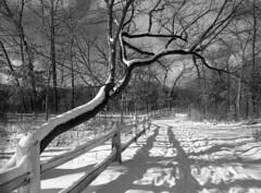 Fresh snow (pabs35) Tags: film believeinfilm 120 mediumformat blackandwhite ilfordfp4plus ilford fp4 fp4plus mamiyam6451000s mamiya m645 1000s chicago winter snow
