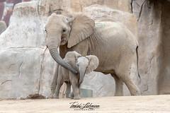 Khosi and Zuli (ToddLahman) Tags: khosi zuli outdoors mammal beautiful portrait escondido elephants elephantvalley elephant elephantbaby africanelephant baby sandiegozoosafaripark safaripark nikond500 nikonphotography nikon photooftheday photography photographer