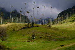 Vallée ensoleillée (genlesiege) Tags: valley cocora colombia colombie mountain landscape palm
