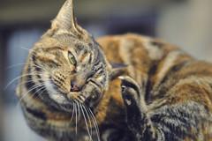 Don't shoot now!! (stefanobosia) Tags: portrait ritratto gatto cat cats gato chat fujifilm xt20 zuikoom50mmf14 pet pets animal animale animaledomestico eyes eye occhio occhi feline felino moment momento