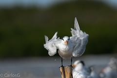 Charrán Real, Royal Tern (Thalasseus maximus) (Gogolac) Tags: 2019 aves birdphotography birdie birds canon7dmii charranreal fauna invierno location royaltern season thalasseusmaximus year birdspot birdingrd birdsspotters republicadominicana salinas