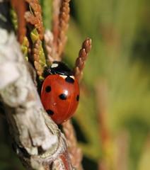 early spring (bugman11) Tags: coccinellaseptempunctata bug bugs beetle beetles ladybugs ladybird ladybug ladybirds insect insects canon 100mm28lmacro fauna bokeh nature macro nederland thenetherlands haarlem