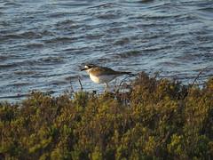 Windswept Killdeer salt pan edge (stonebird) Tags: ballonawetlandsecologicalreserve saltpan areab february killdeer charadriusvociferus img8660
