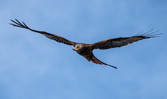Harewood: Red Kite (Adrian.W) Tags: redkite kite milvusmilvus raptor hawk birdofprey bird flying soaring wings feathers nature ukwildlife wildlifephotography harewood leeds yorkshire nikon nikond5500 d5500 70300mm