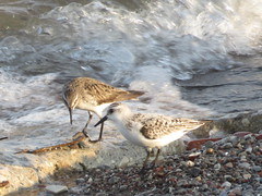 White-rumped Sandpiper and Sanderling 1 (D. S. Hałas) Tags: halas hałas canada ontario yorkcounty toronto tommythompsonpark lesliestreetspit chordata sarcopterygii aves charadriiformes scolopacidae calidrisalba sanderling sandpiper bird calidrisfuscicollis whiterumpedsandpiper