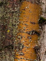 Two Trees (Ramona H) Tags: conway dike hiking winter