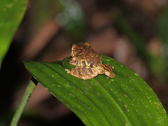 Frosch (Eerika Schulz) Tags: frosch frog ecuador puyo eerika schulz