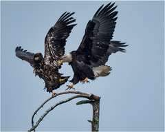 outgoing...incoming (marneejill) Tags: bald eagle juvenile push landing shove offbalance territorial tree