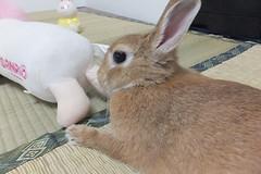 Ichigo san 1508 (Errai 21) Tags: いちごさん ichigo san  ichigo rabbit bunny cute netherlanddwarf pet ウサギ うさぎ いちご ネザーランドドワーフ ペット 小動物 1508