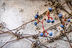 Ivy (Eva Haertel) Tags: eva haertel mauer wall ivy efeu beeren berry blau blue pflanze plant kletterpflanze climber climbingplant herbst autumn detail nature season jahreszeit