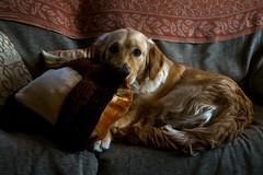 Capitán (ariquelme693) Tags: capitan perro mascota