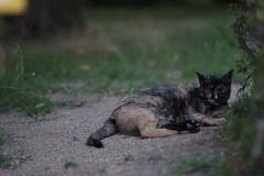 Tortoiseshell Cat (Flexible Negativity) Tags: kitten kitty k70 cat caturday nuko pentax tortoiseshell 猫 貓 meow ねこ